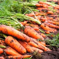 kho lạnh bảo quản cà rốt tươi lâu 6 tháng